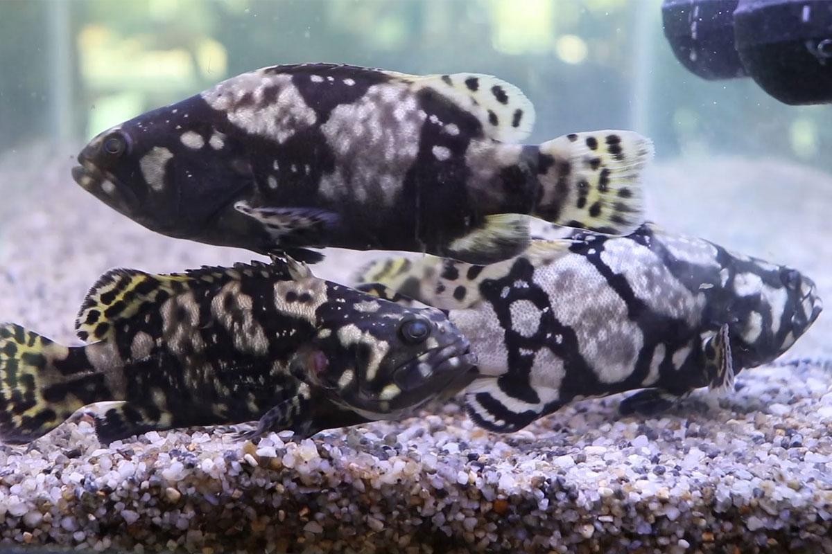 Bayu Aquaculture grown-up grouper fish
