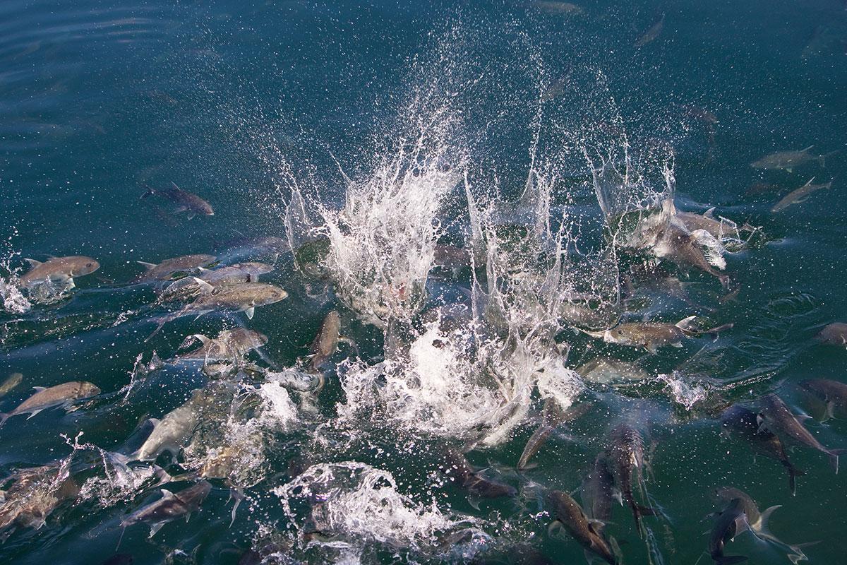 Bayu Aquaculture fish water splashing