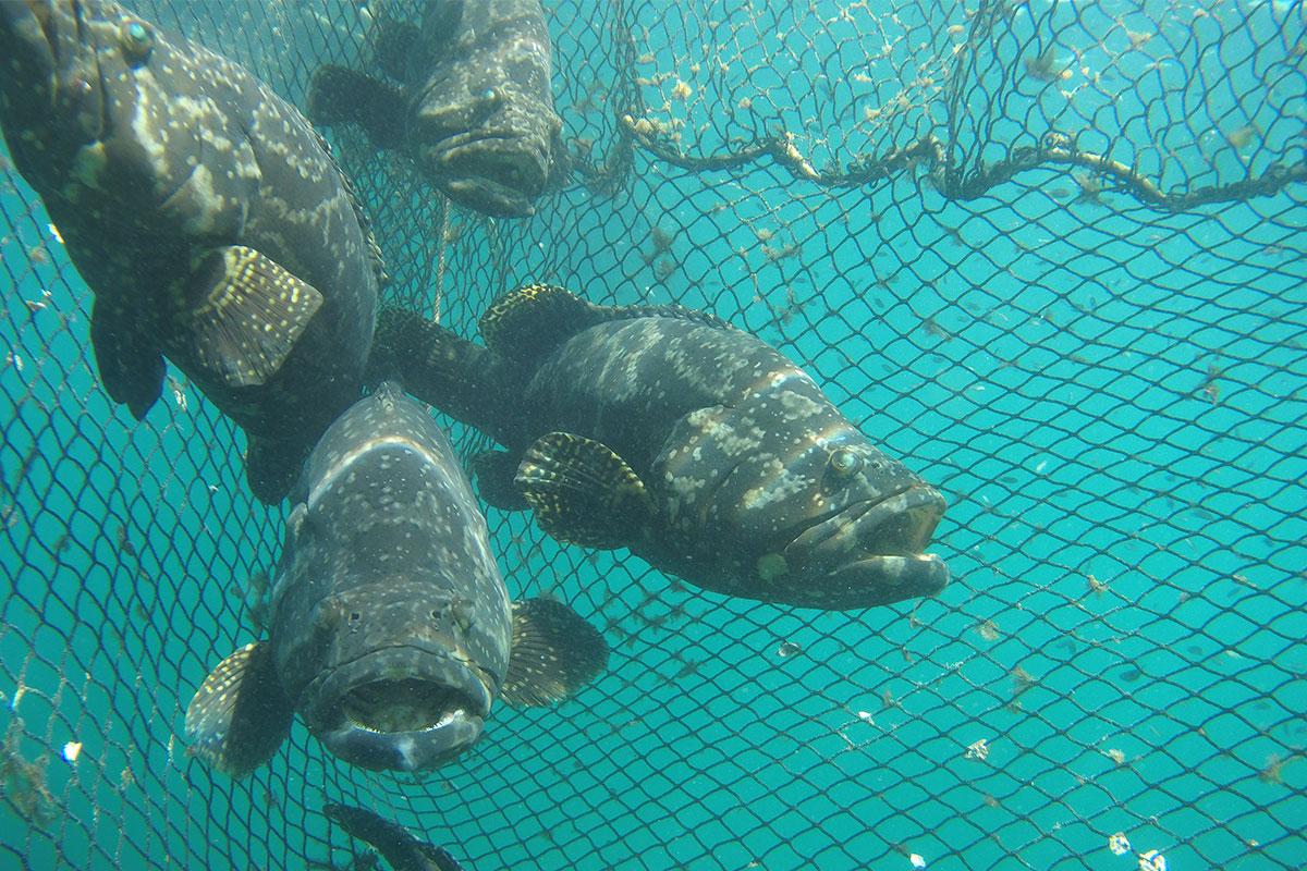 Bayu Aquaculture grouper fish