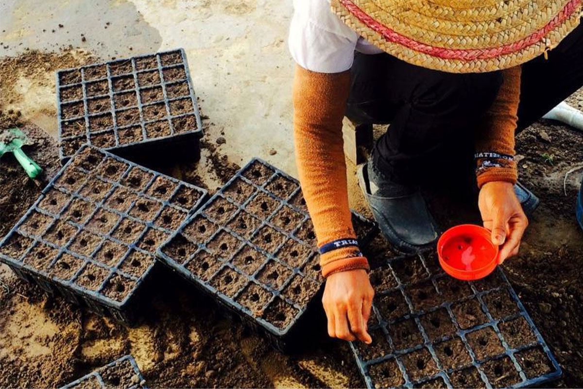 Green Os seed planting