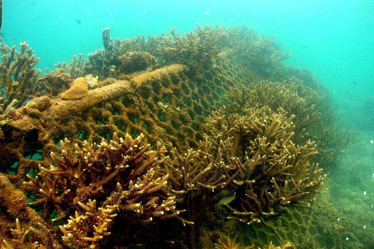 MERC coral leaves restoration in the ocean